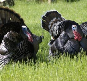 Nagarjun Turkey Farm